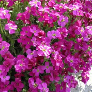 Aubrieta-Bressingham-Red-8085-1