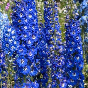 Delphinium 'Blue Bird'