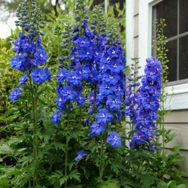 Delphinium 'Blue Bird'2
