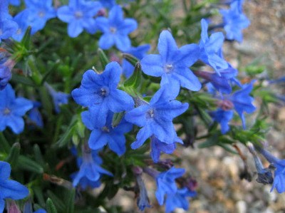 Lithospernum 'Heavenly Blue'