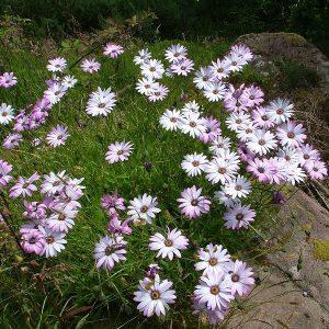 Osteospermum 'Lady Leitrim'2