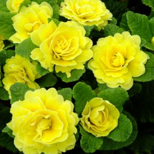 Primula belarina 'Butter Yellow'