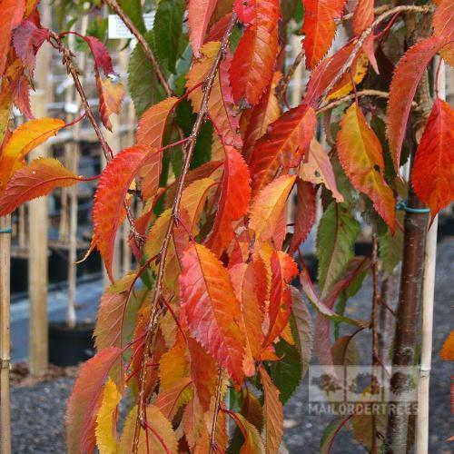 Prunus kiku Shidare-Sakura-Foliage