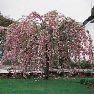 Prunus kiku-shidare-sakura