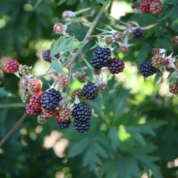blackberry oregon