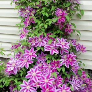 clematis dr rupple