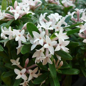 daphne eternal fragrance2