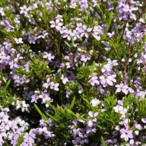 diosma-pink-fountain3