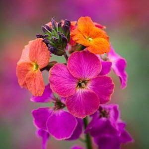 Erysimum winter orchid2