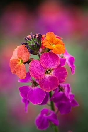 Erysimum winter orchid2