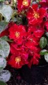 flower carpet red velvet