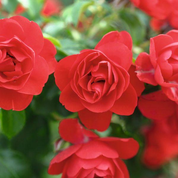 flower carpet scarlet