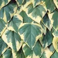 hedera dentata variegata