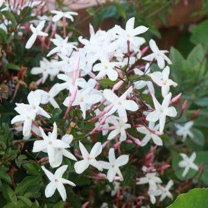 jasmine-poly