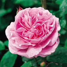 mary rose2