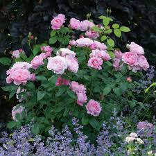 mary rose3