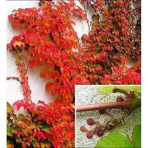 parthenocissus_veitchii-600_600