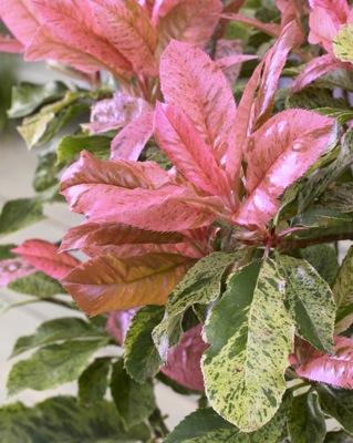 photinia pink crispy2