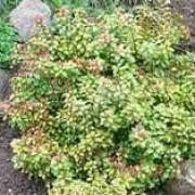 pieris little heath