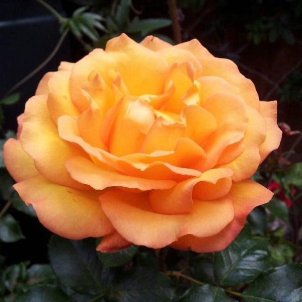 precious amber