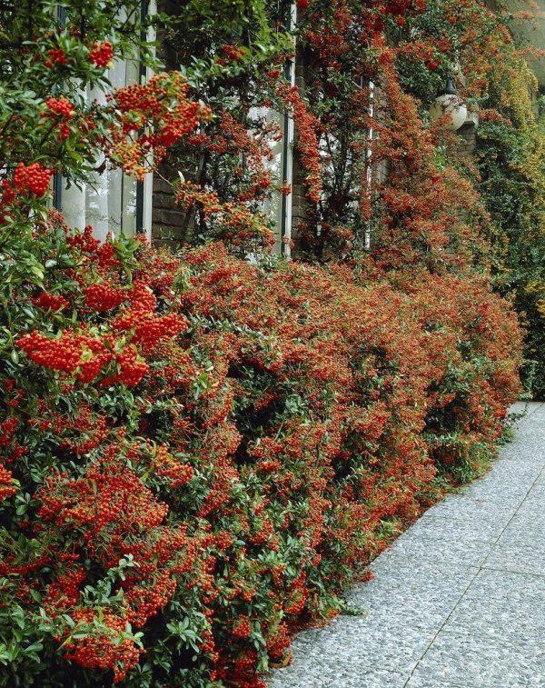 pyracantha red column