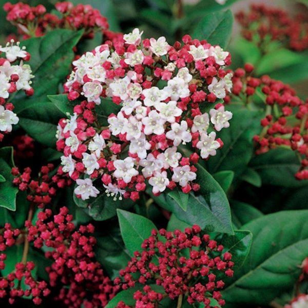 viburnum lisa rose