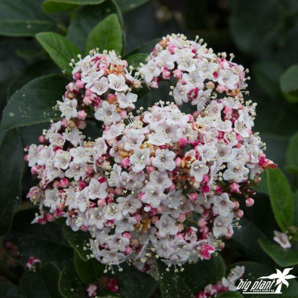 viburnum lisa rose4