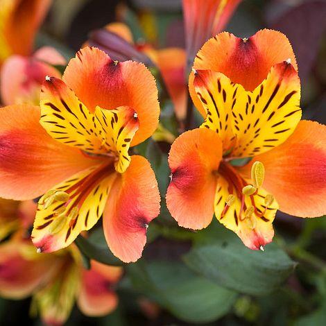 alstroemeria indian summer2