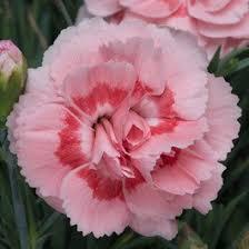 dianthus doris2