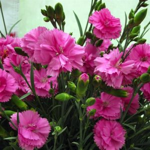 dianthus tickled pink