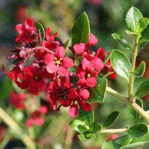 escallonia red dream beechmount garden centre