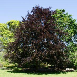 fagus-sylvatica-atropunicea-tree-3