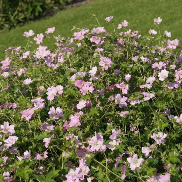 geranium dreamland3