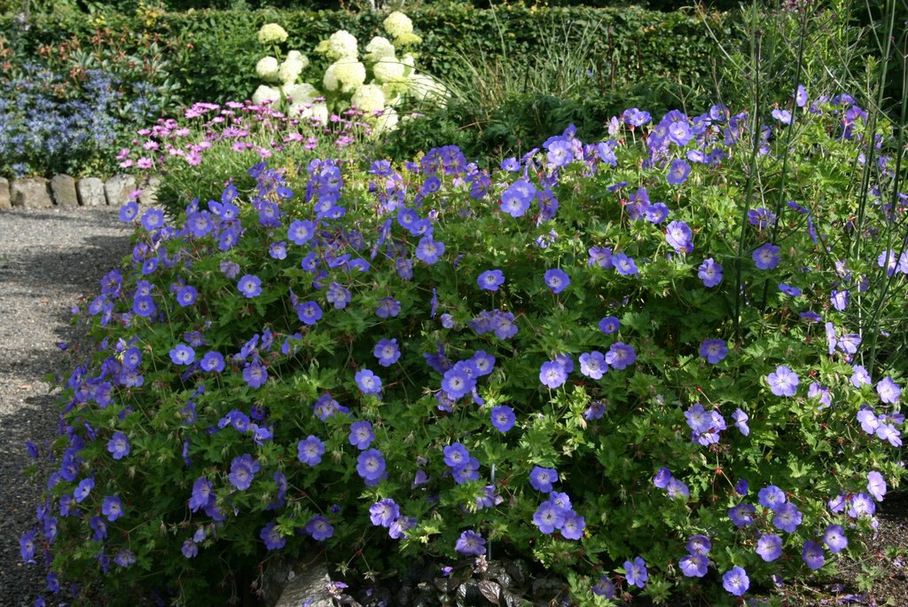 Geranium Rozanne - Beechmount Garden Centre