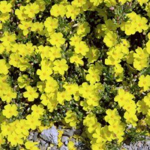 Halimium libanotis beechmount garden centre