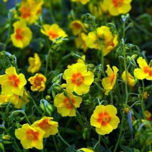 helianthemum ben fhada1