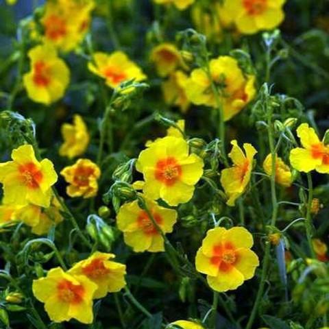 helianthemum ben fhada1