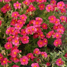 helianthemum benbury