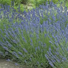 lavandula essence purple
