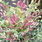 nandina domestica twilight beechmount garden centre