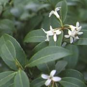 osmanthus burkwoodii beechmount garden centre