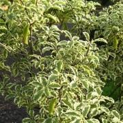 pittosporum variegata beechmount garden centre