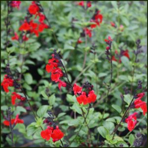 salvia-royal-bumble-1