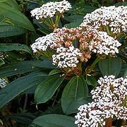 viburnum davidii beechmount garden centre