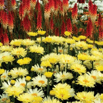 Leucanthemum-Goldfinch-3-400x400