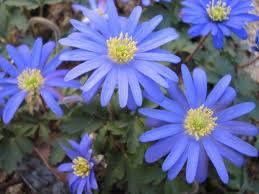 anemone blue shades2