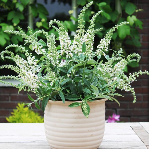 buddleia white chip