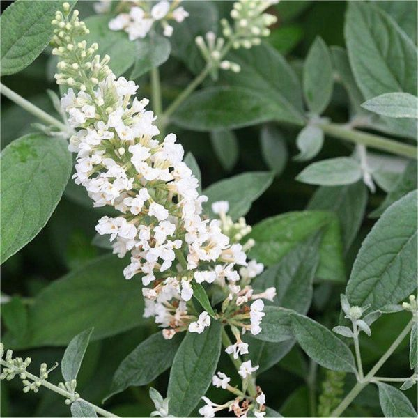 buddleia white chip3