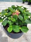hydrangea tabletensia
