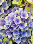 hydrangea_magical_amethyst_flower_2